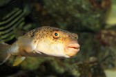 Grass Puffer (Takifugu niphobles) in Japan — Stock Photo