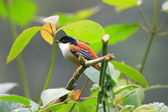 Rufous-backed Sibia (Heterophasia annectens) in India — Stockfoto