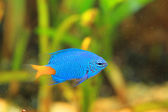 Yellowtail Damselfish (Chrysiptera parasema) in Japan — Stock Photo