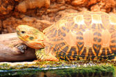 Indian starred tortoise (Geochelone elegans) — Stock Photo
