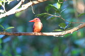 Ruddy Kingfisher (Halcyon coromanda major) in Japan — Stock Photo