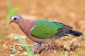 Emerald dove (Chalcophas indica) in Japan — Zdjęcie stockowe