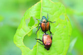 Japanese beetle (Popillia japonica) in Japan — Stock Photo