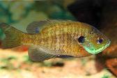 Bluegill Sunfish (Lepomis macrochirus) in Japan — Stock Photo