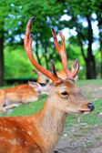 Sika herten (cervus nippon) in japan — Stockfoto