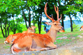 Sika Deer (Cervus nippon) in Japan — Stock Photo