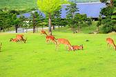 Sika Deer (Cervus nippon) in Japan — Stock Photo