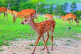 Cerf Sika (cervus nippon) fauve au Japon — Photo