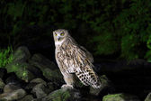 Blakiston's fish owl (Ketupa blakistoni) in Japan — Stock Photo