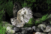 Blakiston's fish owl (Ketupa blakistoni) in Japan — Foto Stock