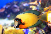Mimic Lemon Peel Tang (Acanthurus pyroferus) — Stock Photo