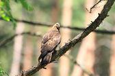 Oriental honey-buzzard (Pernis ptilorhyncus) in Japan — Stock Photo
