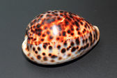 Tiger cowry (Cypraea tigris) in Japan — Stock Photo