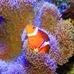 Ocellaris clownfish or Common clownfish or False percula clownfish (Amphiprion ocellaris) in Japan — Stock Photo #50536207