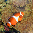 Ocellaris clownfish or Common clownfish or False percula clownfish (Amphiprion ocellaris) in Japan — Stock Photo #50632755