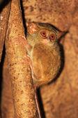 Spectral Tarsier (Tarsius tarsier) in Sulawesi, Indonesia — Stock Photo