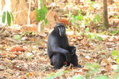 Celebes Crested Macaque (Macaca nigra) in Sulawesi, Indonesia — Stock Photo