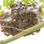 Dark-waist paper wasp (Polistes jokahamae) nesting in Japan — Stock Photo #51794127