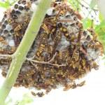 Dark-waist paper wasp (Polistes jokahamae) nesting in Japan — Stock Photo #51794139