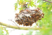 Dark-waist paper wasp (Polistes jokahamae) nesting in Japan — Stock Photo