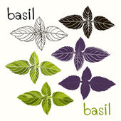 Vector set of basil on a white background — Stock Vector