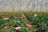 Gerbera in greenhouse. Da Lat. Vietnam — Stock Photo