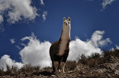 Vicuna on Andes in Salta Province. Argentina — Stock Photo