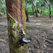 Tapping latex from a rubber tree — Zdjęcie stockowe