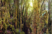Mossy Forest — Stock Photo
