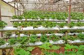 Strawberry farm — Stock Photo
