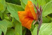 Canna Lily — Stock Photo