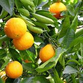 Orange fruit on the tree — Stock Photo