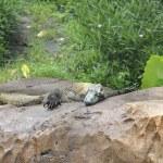 Alligator in captivity in the Animal Kingdom Park, Disney World, Florida, USA. — Stock Photo