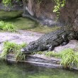 Alligator in captivity in the Animal Kingdom Park, Disney World, Florida, USA. — Stock Photo