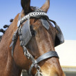 An Arabian horse in a stylized show halter. — Stock Photo