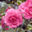 Rose rosse in natura. — Foto Stock