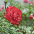 Rose rosse in natura. — Foto de Stock