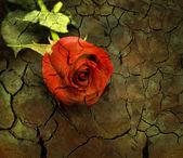 Röd ros på grunge bakgrund. — Stockfoto
