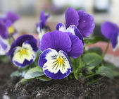 Pansy flowers. — Stock Photo