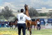 The third edition of the Cup Arabian Horses, Trapani, Italy March 31, 2012. — Stock Photo