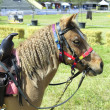 Pony with bridle and braids — Stock Photo