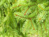 Fir branches, closeup nature — 图库照片