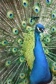 Hermoso pavo real — Foto de Stock