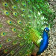 Beautiful Peacock — Stock Photo #35993939
