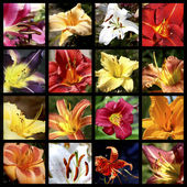 Collage of lilies — Stock Photo