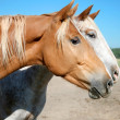Couple of Horses — Stock Photo