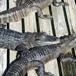 Alligators at zoo — Stock Photo #39406109