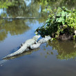 Alligators in wild — Stock Photo #39406127