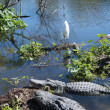 Alligators and egret in wild — Stock Photo #39406191