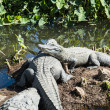 Alligators in wild — Stock Photo #39406209